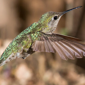 Anna Hummingbird by Jim Malone - Animals Birds ( hummingbirds )