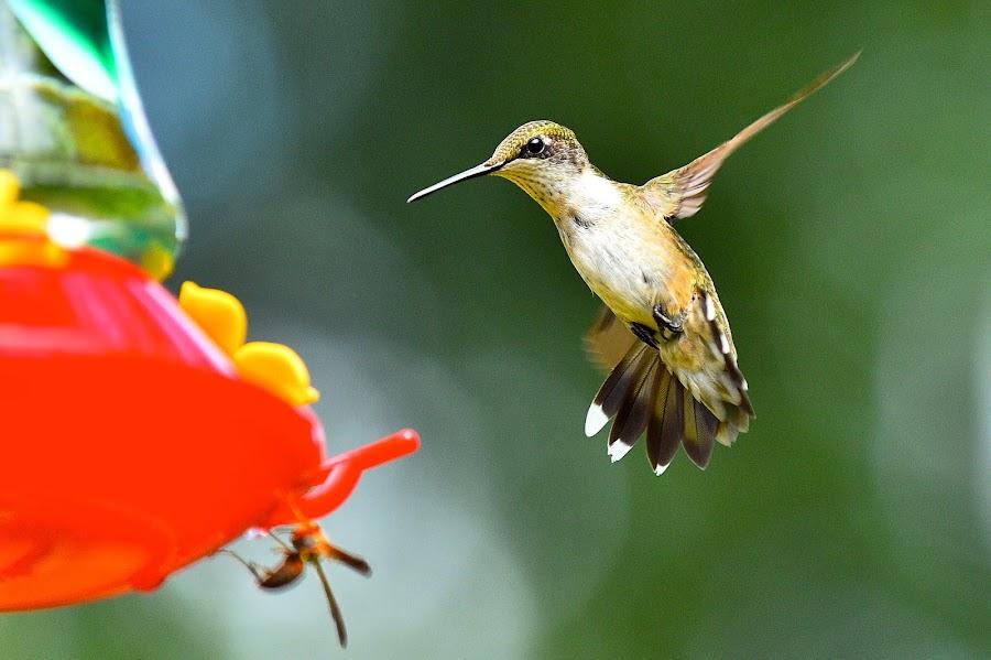 Oh No,  A Bee by Roy Walter - Animals Birds ( flight, animals, hummingbird, wildlife, birds )