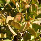 Jade plant (Κρασσούλα)
