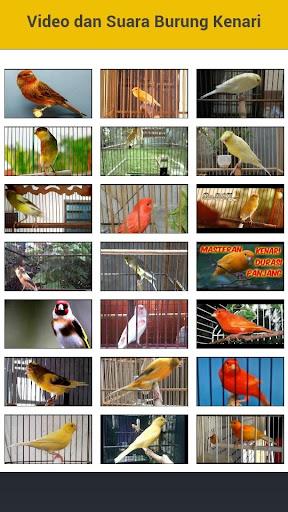 Video dan Suara Burung Kenari