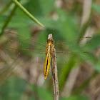 Black-headed Skimmer Dragonfly
