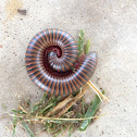 Worm millipede