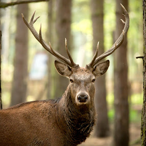 The Stare by Selena Chambers - Animals Other Mammals ( red deer, deer stag, red deer stag, stag, red stag, deer )