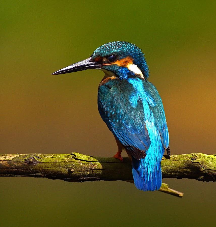 Kingfisher by Bob Rawlinson - Animals Birds ( kingfishers )