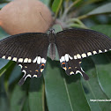Common Mormon - Male