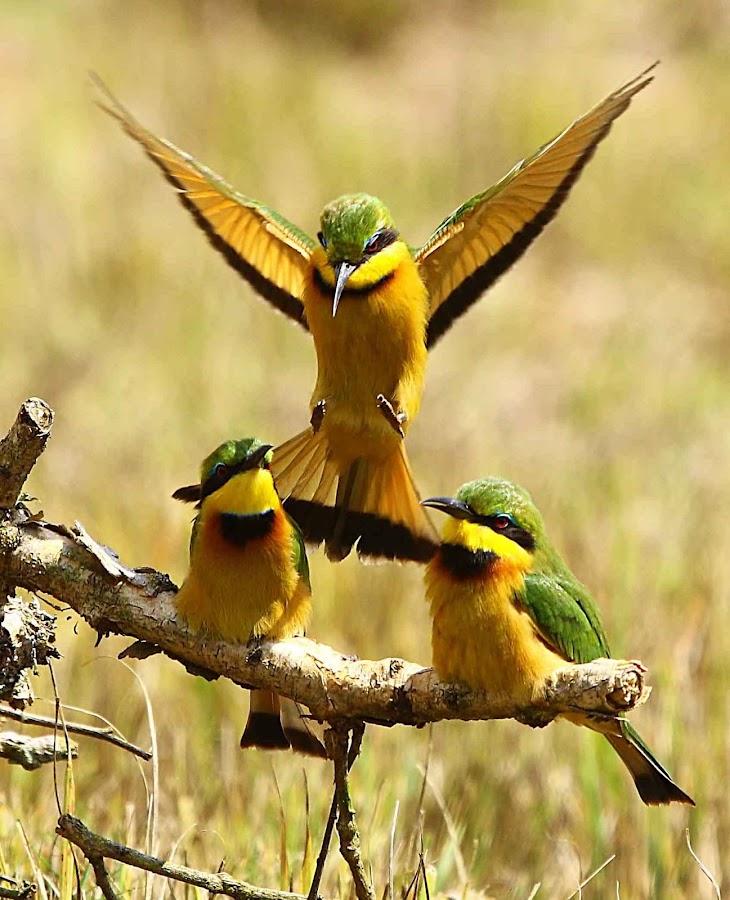 Little Bee-eater  Merops pusillus  by Chris Krog - Animals Birds ( bee, merps, eater )