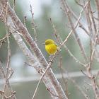 Pine Warbler #2