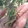 Plains Lubber Grasshopper