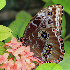 Blue Morpho by Sandra Blair - Animals Insects & Spiders ( butterfly, flying, wings, lepidoptera, insect,  )