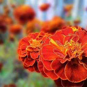 Marrygold..... by Debabrata Deb - Flowers Flower Gardens