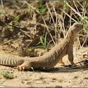 Indian Spiny-tailed Lizard