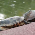 Golden Thread Pond Turtle