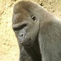 Unknown Gorilla