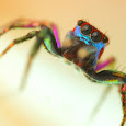 Jumping Spiders of the World