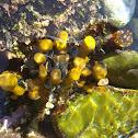 Yellow Tube Sponge / Sumporača