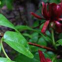 Carolina sweetshrub