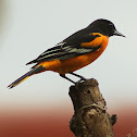 Baltimore Oriole - Male and Female
