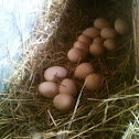 Silky chicken nest and eggs