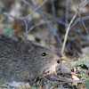 Arizona Cotton Rat