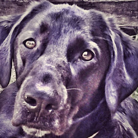 His Loving Glance at Her by Nat Bolfan-Stosic - Animals - Dogs Portraits ( look, love, labrador, young, eyes,  )