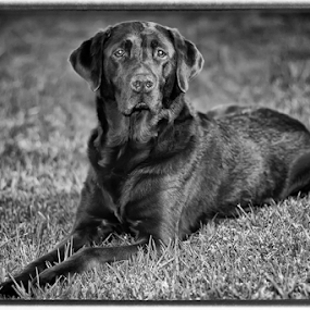 Chocolate Lab in Black and White by Doug Redding - Animals - Dogs Portraits