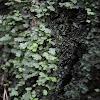 Liverwort Moss