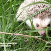 Four-toed Hedgehog (Domestic)