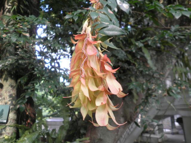 Cynometra Manii Oliv ( Caes ) / Sapu Tangan tree ( indonesia )