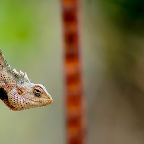 Oriental Garden Lizard by Faizan Hussain - Animals Reptiles ( wild, reptiles, lizard, nature, wildlife, rock,  )