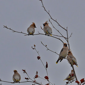 I heard them the moment I stepped out of the door this grey morning, and it made me want to sing, too......my favourite bird the by Hilde Lorgen - Animals Birds ( waxwing )
