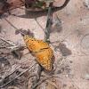Mexican Fritillary