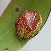 Golden beads tortoise beetle