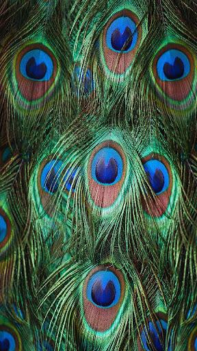 孔雀羽毛动态壁纸
