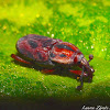 Palm Weevil