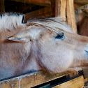 Den Jydske Hest