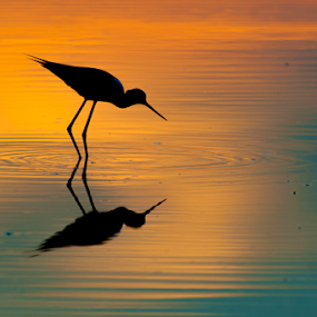 sunset bird by Riccardo Trevisani - Animals Birds ( riccardo trevisani, sunset, wildlife )