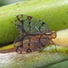 Net-winged Planthopper