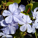 Plumbago or Leadwort
