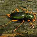 Virginia Metallic Tiger Beetle