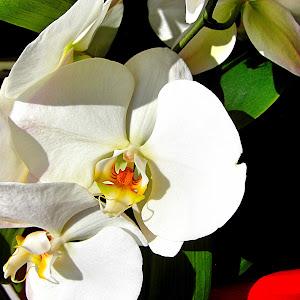 Baja orchid 2013za.jpeg