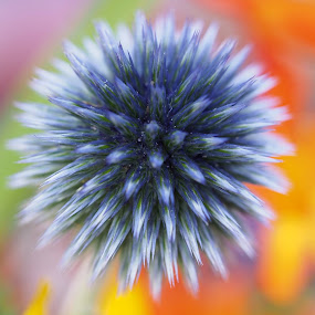 Thistle explosion by Joan Rankin Hayes - Flowers Single Flower