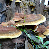 velvet-top fungus