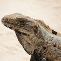 Mexican Spiny-tailed Iguana II