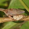 Thorn treehopper - eggs