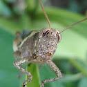 Short horned grasshopper