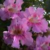 Podranea ricasoliana (Bignonia rosa)
