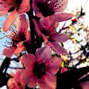 White Peach Blossums