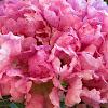 Rosy Trumpet Tree