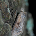Black-spotted Prominent