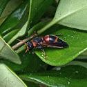 Red-marked Pachodynerus